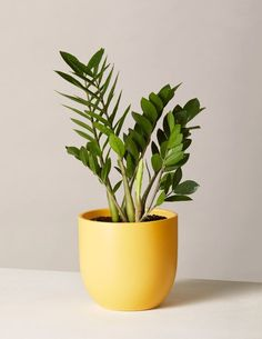The ZZ Plant is characterized by its thick waxy green leaves. They do well in medium to low light, watered infrequently. This is a great air purifying plant for beginners. Shop The Sill's collection of houseplants and indoor plants for delivery. Jade Plants, Potted Plants, Hanging Plants, Low Maintenance Indoor Plants, Types Of Houseplants, Types Of Plants, Zz Plant, Decoration Plante, Low Light Plants