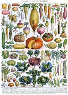 Légumes et Plantes Potagères (Garden vegetables and plants). Illustrated by Adolphe Millot for Larousse [1907-1910].
