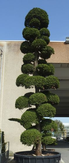 Conifer topiary at Vannucci Nursery, Pistoia