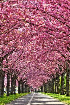 Cherry tree in full bloom, Holzweg, Magdeburg, Germany