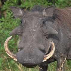 Common Warthog - I'm just misunderstood. African Animals, African Safari, Chobe National Park, Out Of Africa, Wild Dogs, Africa Travel, Exotic Pets, Animal Kingdom, Pet Birds