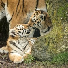Todays Cuteness:) Tiger Cubs by Colin Langford