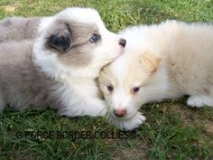 Heart-wrenchingly cute! We will forever more, only own border collies.  :-)