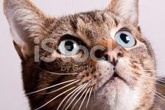 Tabby Cat Looking Up - Stock image