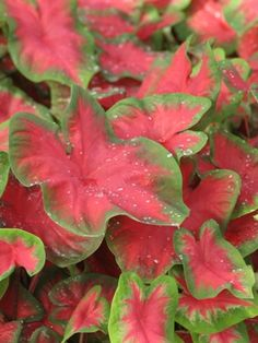 """Caladium [Shade Plant. 12-24"""" high x 12-18"""" wide. Fertilize monthly]. Maybe L side of house behind tree."""