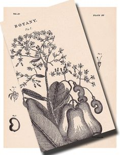 Cashew Nut Botanical Print from 1904....Anacardium by artdeco