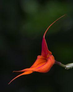 Masdevallia Orchid. Photo: Dale Kinkaid