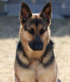 German Shepherd Riley