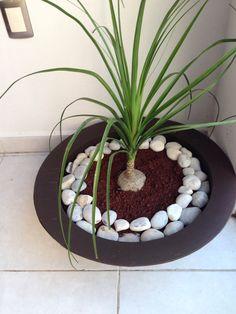 Mi pata de elefante Balcony Garden, Indoor Garden, Indoor Plants, Dream Garden, Garden Art, Interior Garden, Garden Borders, Garden Stones, Small Gardens