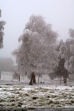 Tree covered with frost in winter. Picture shot in middle France mountains (Massif Central).
