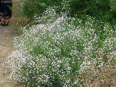 """Gypsophila paniculata """"Bristol Fairy"""" à planter au soleil pour massifs ou fleurs coupées"""