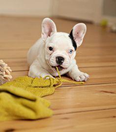 Blue Eyed French Bulldog