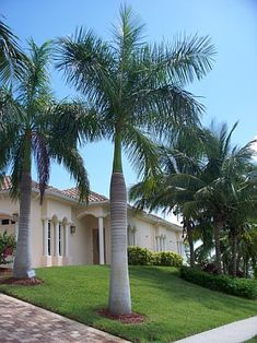Giant palm trees - royal-palms 3 - Palm Trees For Sale Online Front Door Landscaping, Palm Trees Landscaping, Florida Landscaping, Tropical Landscaping, Backyard Landscaping, Palm Trees Garden, Indoor Palm Trees, Front Garden Landscape, House Landscape