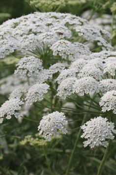 Queen Anne's Lace- favorite for beneficial insects