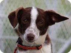 Rat Terrier Mix Puppy for adoption in Cookeville, Tennessee - Marty