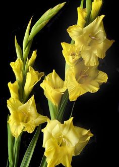 Floral study of yellow Gladiolus flowers.