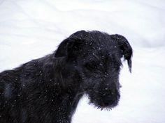 Rudi the Deerhound