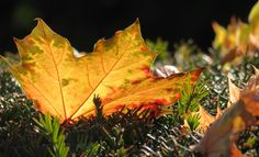 Autumn Leaf, Toronto, Canada