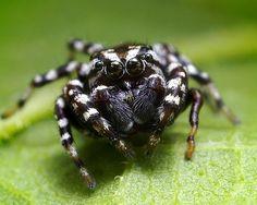 Male Pelegrina galathea Jumping Spider