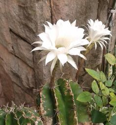 Flor de cactus