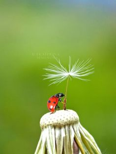 Ladybug wish. .... what a photo! hope it isn't photo shopped, it looks amazing..