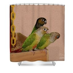 Three cute baby conure parrots looking for trouble animal shower curtain.  Photography by Susan.