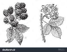 Risultati immagini per vintage blackberries
