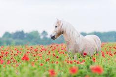 Pferde im Mohnfeld | Pferdefotografie München | Rahlmeier