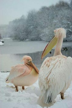 Pelicans in the Snow...