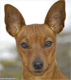 min pin <3 ... such fantastic dogs! I've had 3 ... love the breed!