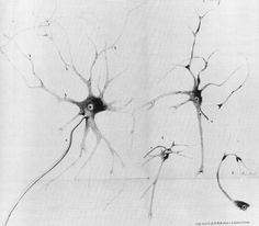 Drawings of stained neurons in the spinal chord with soma, nucleus, dendrites and  axons, by Otto F K. Deiters, in 1865.
