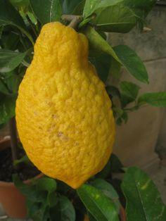citron fruit - Google Search