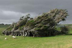 Δέντρα κεκλιμένα από τους ισχυρούς ανέμους, Nέα Ζηλανδία, 16 από τα ομορφότερα δέντρα στον κόσμο - (Page 15)