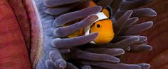 An Ode To The Clownfish, Which May Soon Be Listed As Endangered