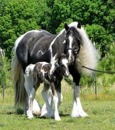 Gypsy Horse, Gypsy Vanner Horses of Feathered Gold Stables All The Pretty Horses, Beautiful Horses, Animals Beautiful, Cute Animals, Beautiful Beautiful, Gorgeous Hair, Baby Horses, Draft Horses, Breyer Horses