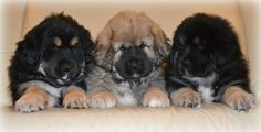 Tibetan Mastiff for Sale | Tibetan Mastiff Puppies For Sale Price | All Puppies Pictures and ...