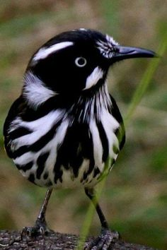 New Holland Honeyeater. by kelseyinfo---You know if can't make up your mind just go with black and white. What a beautiful bird. Black and white are also colours you know. All Birds, Little Birds, Love Birds, Angry Birds, Pretty Birds, Beautiful Birds, Animals Beautiful, Beautiful Pictures, Exotic Birds
