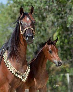 Beautiful Arabian Horses | Beautiful Arabian Horses | Animals - Horses: Arabian