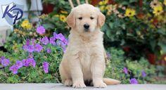 Finn – Golden Retriever Puppy www.keystonepuppies.com  #keystonepuppies  #goldenretriever