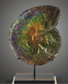auctionguide:  Ammonite Fossil, Alberta Canada    Sotheby's, Natural History, Paris, Oct 12th