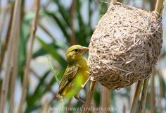 Yellow African Weaver bird puts the finishing touches to his nest - we see these all over - apparently if the female isn't impressed with the nest the female cuts the reed that holds it up . African Safari, Bird Feeders, South Africa, Nest, Birds, Female, Yellow, Nest Box, Bird