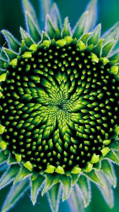 """Sunflower & Seed ~ """"Floral nebula"""" Geometry in nature. Same laws that govern the formation of stars & galaxies govern the patterns in flowers. Exotic Flowers, Amazing Flowers, Beautiful Flowers, Beautiful Gorgeous, Patterns In Nature, Shades Of Green, Blue Green, Yellow, Aqua Blue"""
