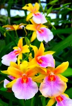 Colourful Miltonia Sunset Orchid. Orchid care: http://www.houseplant411.com/houseplant/phalaenopsis-orchid-how-to-grow-care-tips