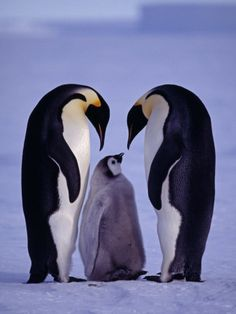100 of the MOST AMAZING PENGUIN Photos you'll Ever See @poshonabudget http://poshonabudget.com/2016/03/100-of-the-most-amazing-penguin-photos-youll-ever-see.html