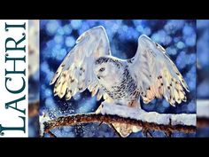 snowy owl in colored pencil - photorealistic Time Lapse Demo by Lachri featuring Adam Hoek - YouTube