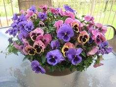 Pansy Container,beautiful assortment of color Its like a painting I did in watercolor.