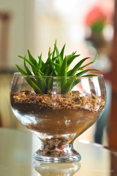 Planting Your Terrarium:  Put an inch of pebbles in the bottom of the container. Add 2-3 inches of potting soil and tamp it down. Make a little hole in the soil with your finger, set your plant/plants in and tamp the soil firmly around it. Make sure no roots are exposed.Dampen the soil and you're done. You can add decorative touches with different rocks or moss if you want. ≈≈ Water Plants, Cool Plants, Potted Plants, Water Garden, Indoor Plants, Garden Terrarium, Succulents Garden, Planting Flowers, Indoor Garden