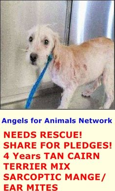 NEEDS RESCUE! SHARE FOR PLEDGES! A1389435 F 4 Years TAN CAIRN TERRIER MIX 5/19/2015 SARCOPTIC MANGE/ EAR MITES OC Animal Care. 561 The City Drive South, Orange, CA. 92868 Telephone: 714.935.6848 https://www.facebook.com/AngelsForAnimals.AFA/photos/pb.315830505222.-2207520000.1432321556./10155549646445223/?type=3&theater
