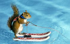 This picture is simply AMAZING. Water skiing squirrel. Squirrel #FaceTheIntensity too!!