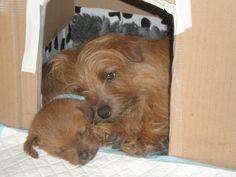 Norfolk Terrier - Millie and her puppy Lola
